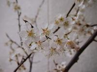 暖地桜桃.jpg